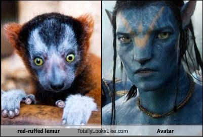 red-ruffed lemur Totally Looks Like Avatar