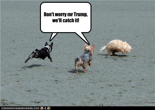 boston terrier,cat,chase,donald trump,toupee,yorkshire terrier