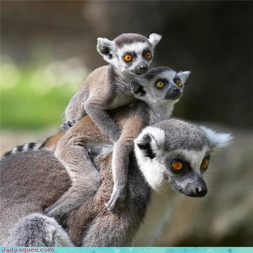 Stack of Lemurs
