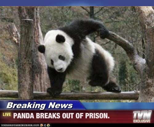Breaking News - PANDA BREAKS OUT OF PRISON.
