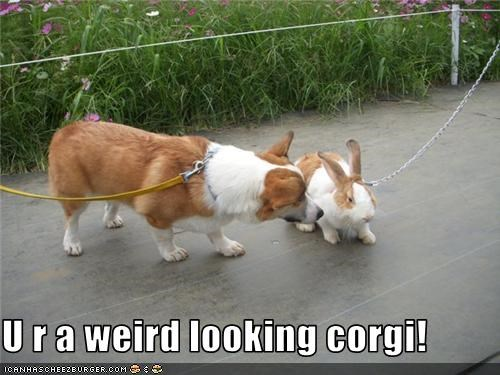 U r a weird looking corgi!