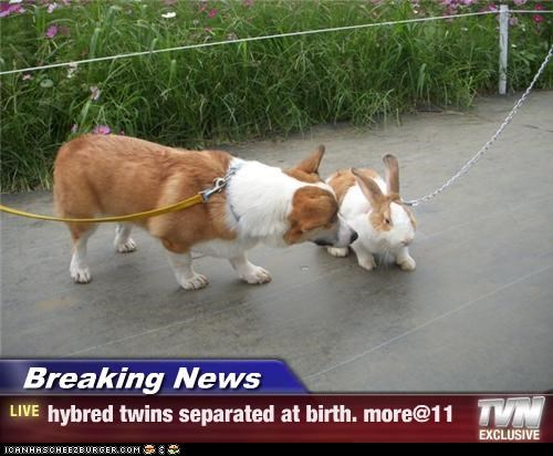 Breaking News - hybred twins separated at birth. more@11