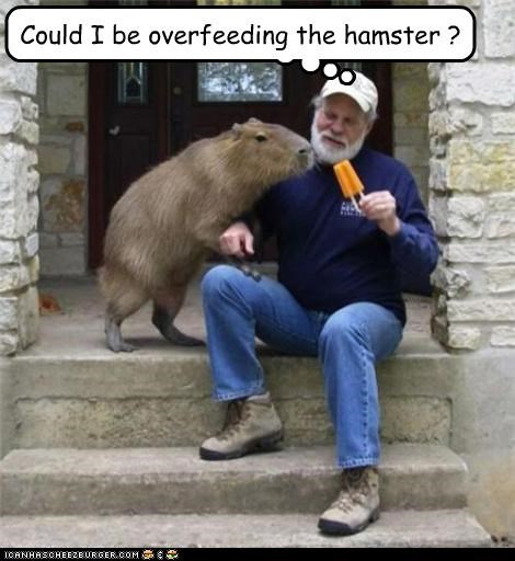 Could I be overfeeding the hamster ?
