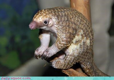 Pangolins are the Cutest Mythical Creatures!