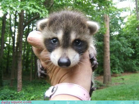 baby,raccoon,squee spree