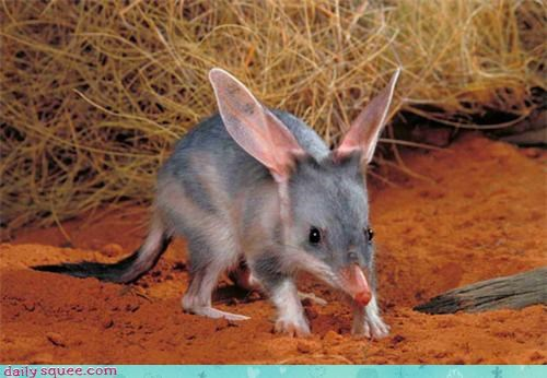 Bilby,exotic,whatsit