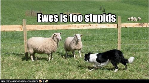 Ewes is too stupids