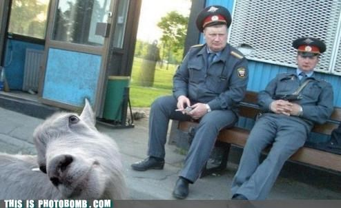Animal Bomb,animals,derp,goat,security guards