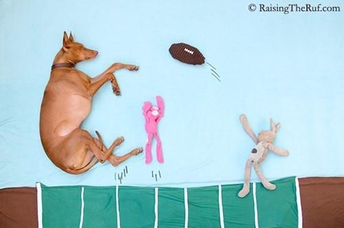 Rufus the Pharoaoh Hound Goes on Adventures in His Sleep