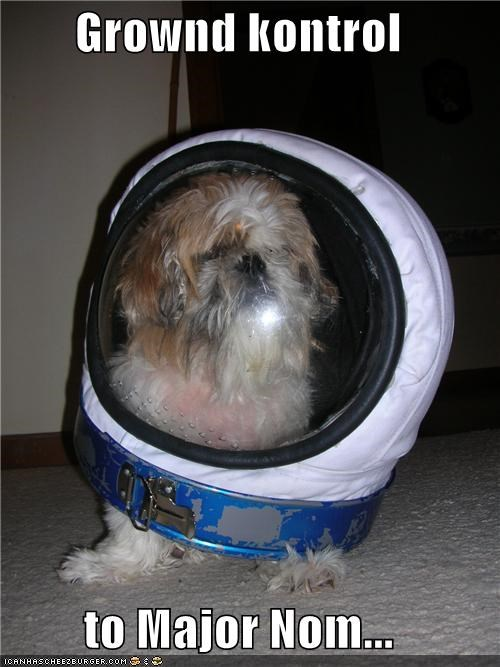 astronaut,david bowie,havanese,major nom,space oddity