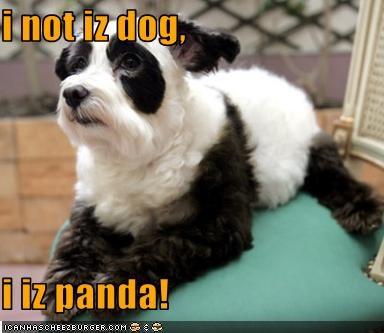 i not iz dog,  i iz panda!