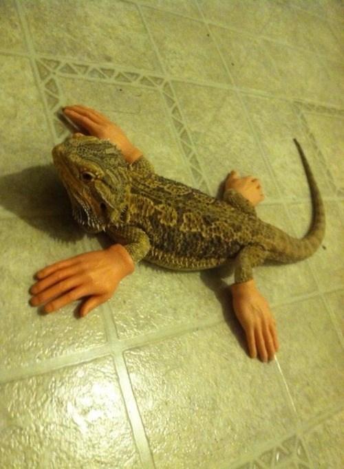bearded dragon,caption contest,lizard