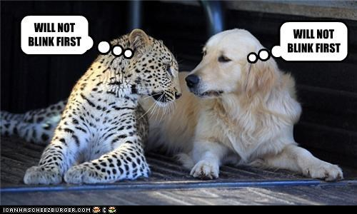 epic,golden retriever,leopard,scary,staring contest