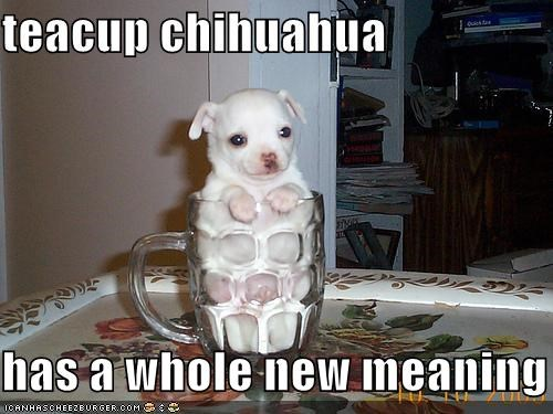 teacup chihuahua   has a whole new meaning