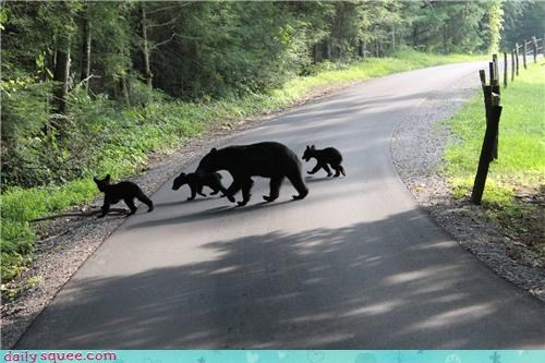 Why Did the Bears Cross the Road?