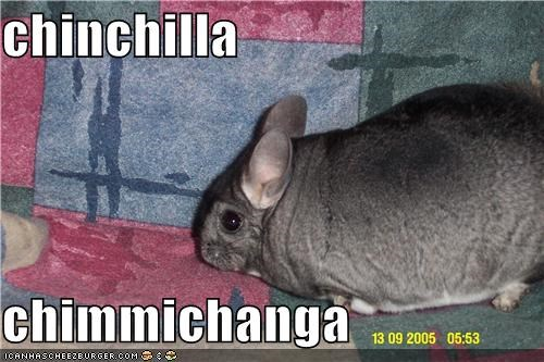 chinchilla   chimmichanga