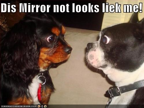 boston terrier,cocker spaniel,confusion,mirror,no resemblance