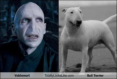 Voldemort Totally Looks Like Bull Terrier