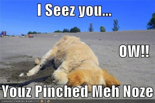 beach,crab,head in sand,i see you,nose,ow,pinched,silky terrier