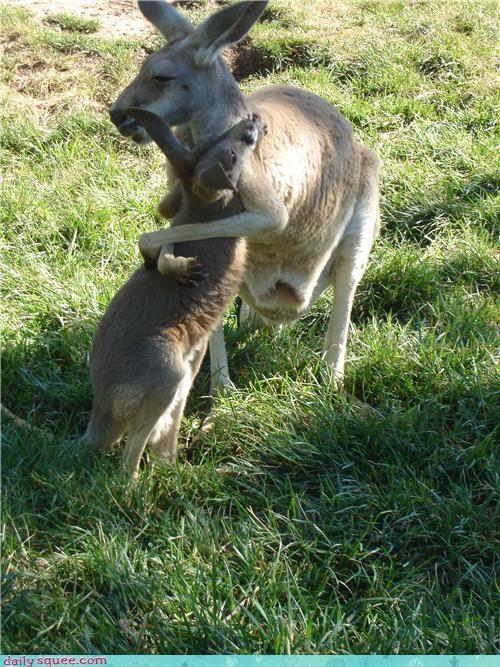 baby,kangaroo,mama
