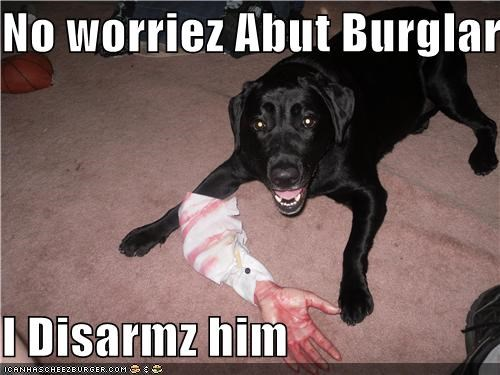 arm,burglar,chew toy,disarm,guard dog,i handled it,labrador retriever,robber,success,toy