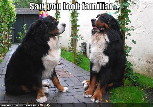 birthday hats,burmese mountain dogs,familiarity,realization,similarity,twins