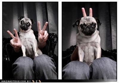 bunny ears,peace sign,photobomb,photograph,posing,pug
