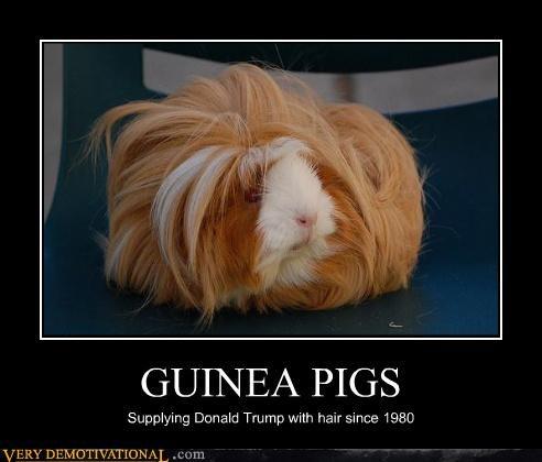animals,business,donald trump,guinea pigs,hair,hilarious,not vegan,serious,wigs