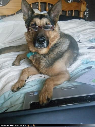 bad grade,disappointment,f,german shepherd,glasses,grading papers,laptop,themed goggie week