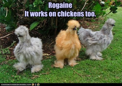 Rogaine It works on chickens too.