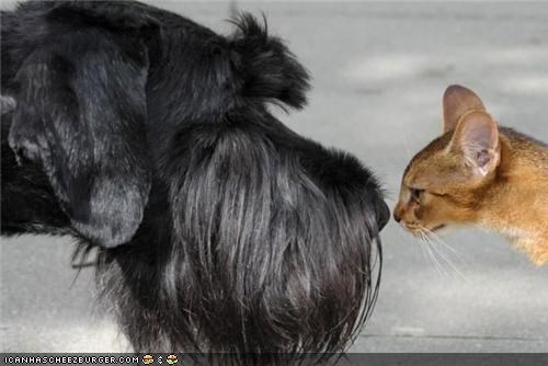 cat,cute,friendship,kittehs r owr friends,nice,scottish terrier,smell,sniffing