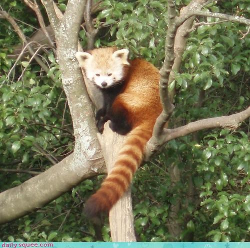 Red Panda Phoning It In
