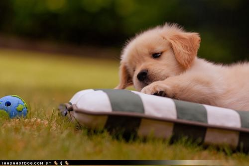 ball,cant-reach,do want,FAIL,golden retriever,pitiful,puppy,puppy eyes,sad face,themed goggie week