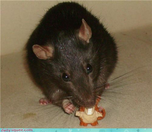 Rat chewing a Raticate.