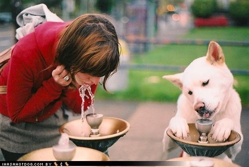 akita,awesome,cute,delicious,drinking,drinking fountain,happy,human,imitating,mixed breed,tastes good,water