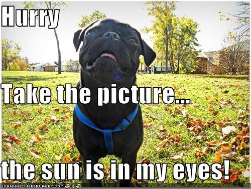 hurry,posing,pug,squinting,sun,sun in eyes,take the picture