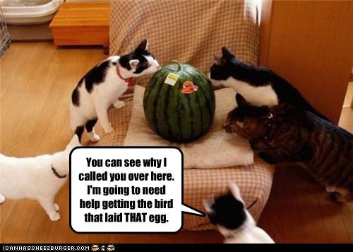 assistance,backup,bird,caption,captioned,cat,Cats,confused,egg,help,laid,misinterpretation,misunderstanding,watermelon