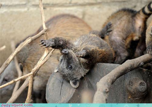coati,raccoon,whatsit wednesday