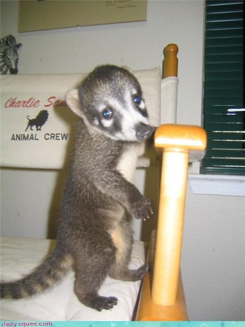 baby,coati,raccoon