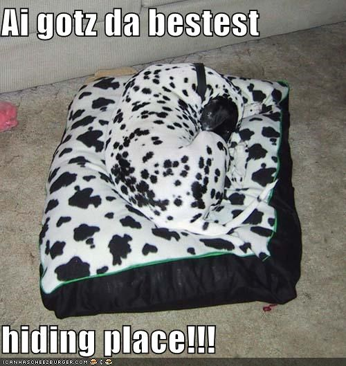 bestest,can has,curled up,dalmatian,dog bed,gotz it,hiding place,sleeping
