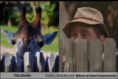 animals,giraffes,home improvement,TV,wilson