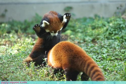 Red Panda uses TACKLE