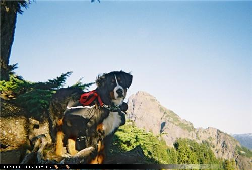 backpack,bernese mountain dog,climbing,Hiking,literalism,mountain,namesake,satchel,themed goggie week