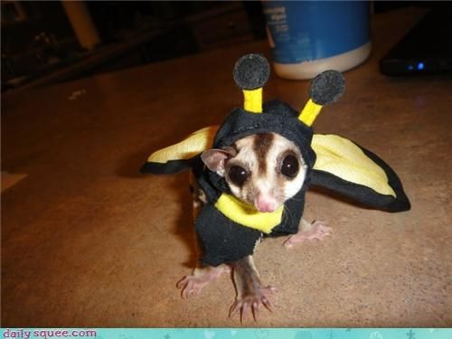 Sugar glider is ready for Halloween