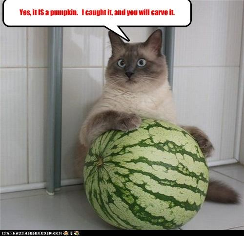 caption,captioned,carve,cat,caught,confused,confusion,demand,halloween,insistence,meowloween,pumpkins,watermelon,you will