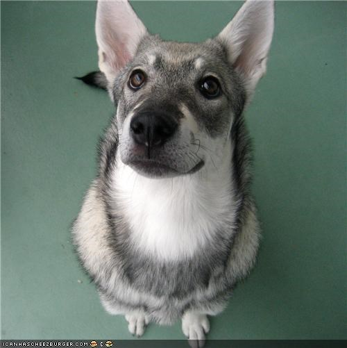 coot,cyoot puppeh ob teh day,elkhound,face,gimme,noms,plz,puppy,puppy eyes,swedish elkhound