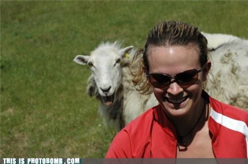 Animal Bomb,photobomb,sheep,sheeple