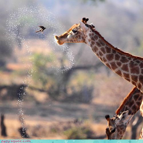 acting like animals,agitated,bird,conversation,difficulty,dont,focus,giraffes,impolite,oxpecker,say it,spittle,spittoon,spray it,tourist,upset