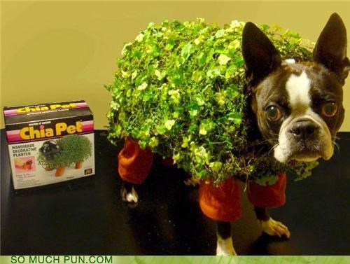 boston terrier,chia pet,costume,dressed up,model,new,pet,self-fertilizing