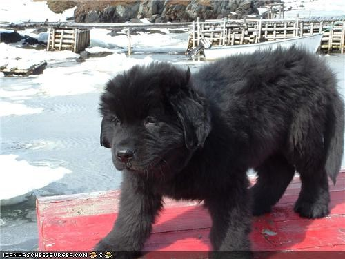 cute,cyoot puppeh ob teh day,ferocious,newfoundland,not,puppy,scary,standing,table,territorial